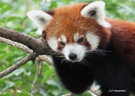 Kleine panda Ouwehands