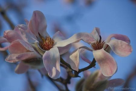 Magnolia - Hoe prachtig zijn ze alweer ! Ik geniet er iedere keer van deze mooie bomen.  Iedereen hartelijk dank voor de waardering van mijn werk.  Lieve gr - foto door MarjonvanderVegt1967 op 25-02-2021 - deze foto bevat: roze, wit, zon, natuur, winter, nederland, magnolia, februari, ontloken, Den Haag, blauwe lucht