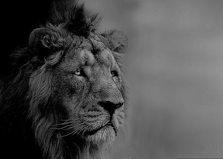 Lion King - - - foto door fotohela op 09-08-2019 - deze foto bevat: dierentuin, portret, leeuw, zwartwit, blijdorp