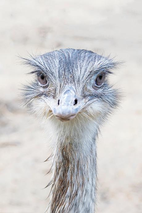 50 procent struisvogel