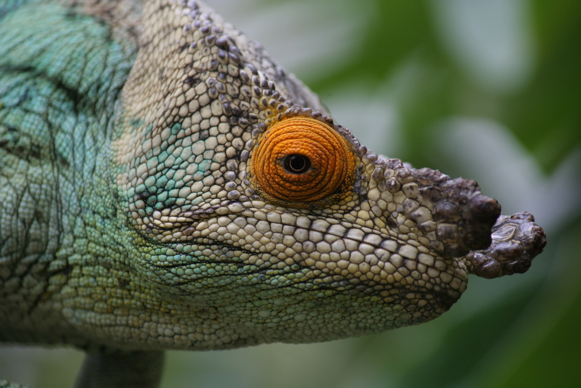 Kameleon - Kameleon in Madagaskar. - foto door wendier op 30-11-2014 - deze foto bevat: dieren, eye, afrika, kameleon, madagascar, madagaskar, cameleon, close-up