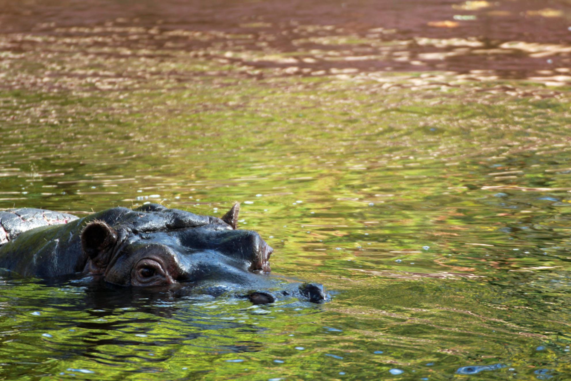Nijlpaard - Nijlpaard - foto door lodexiv op 15-11-2013 - deze foto bevat: dierentuin, nijlpaard - Deze foto mag gebruikt worden in een Zoom.nl publicatie