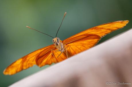 Een WK vlinder!