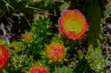 Bloeiende cactus 2