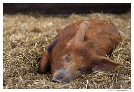 Varken slaapt heerlijk