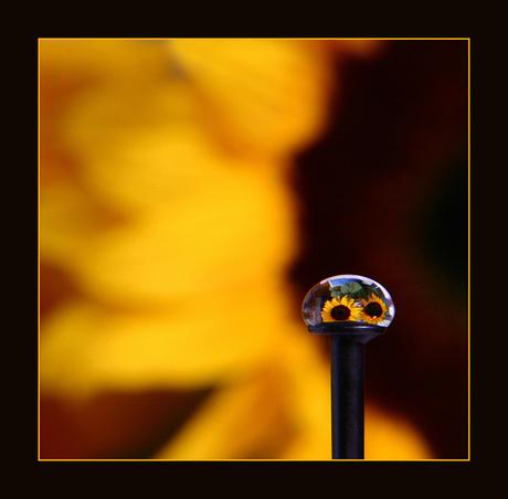 Druppel zonnebloem