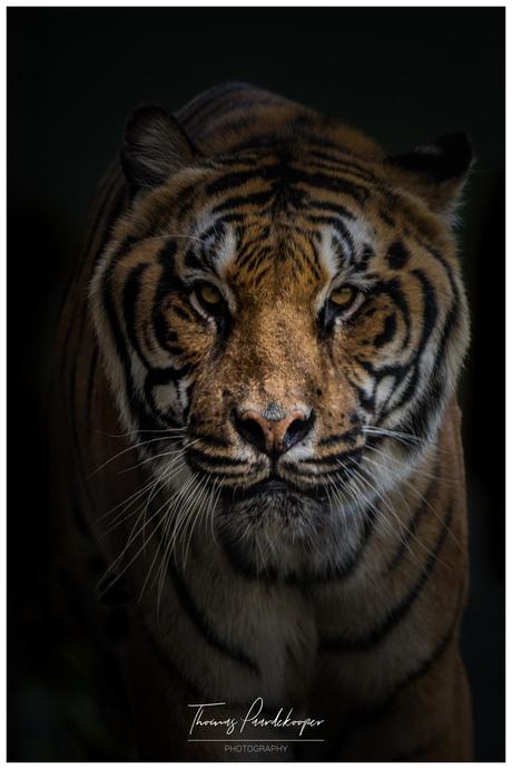 tijger in stichting leeuw