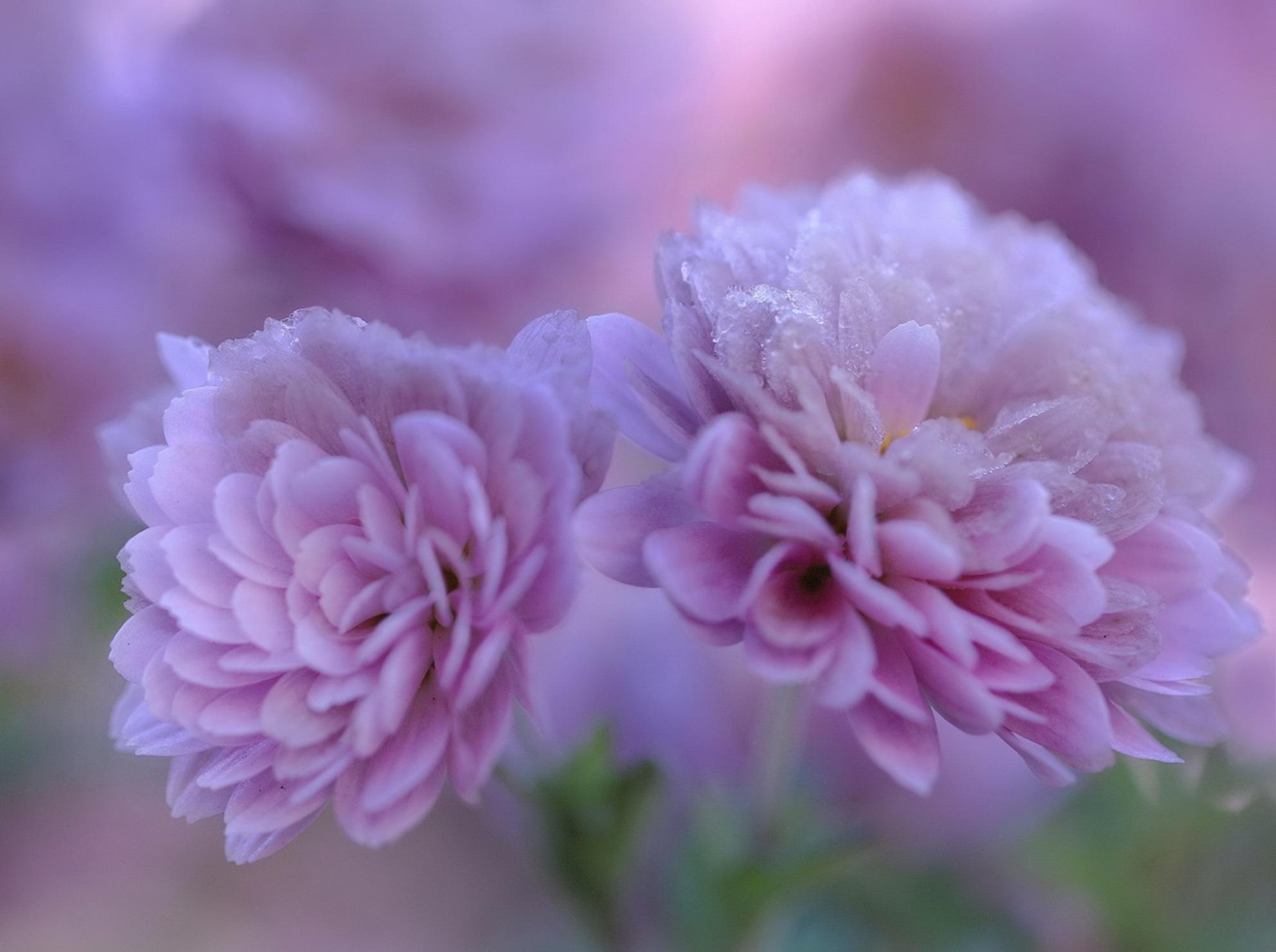RIJP - Dit trof ik vanmorgen aan in m,n tuin. Nog een paar dappere bloemen met rijp op de blaadjes vanwege de nachtvorst. Het levert wel een mooi plaatje op - foto door lucievanmeteren op 29-11-2016 - deze foto bevat: roze, macro, natuur, tuin, rijp, bloemen, nachtvorst