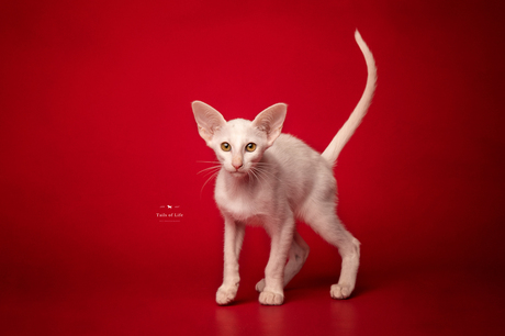 Oosterse Korthaar Kitten