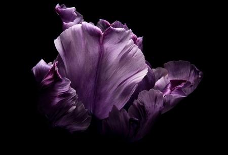 Tulipa lila - Tulp - foto door emilewiersum op 10-03-2018 - deze foto bevat: roze, paars, macro, blauw, bloem, lente, natuur, licht, tuin, tulp, zwart