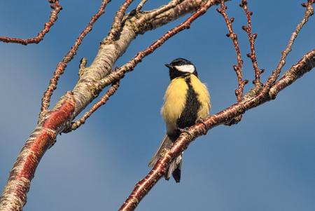 Koolmees - Veilig hoog in een boom. Genieten van het uitzicht.  Alle zoomers, zoomvrienden en -volgers, bedankt voor de waardering, tips en aandachtspunten op - foto door PaulvanVliet op 20-03-2021 - deze foto bevat: natuur, dieren, vogel, koolmees