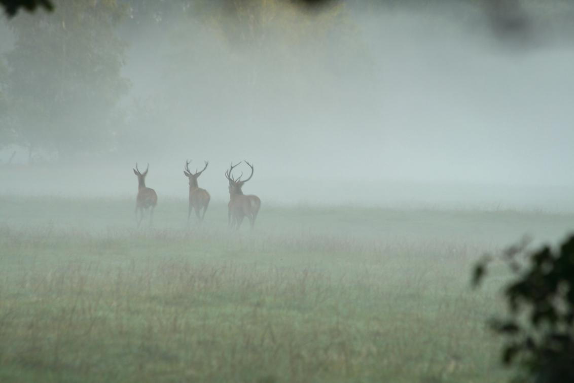Op de vlucht - Afgelopen herfst in het bos hoorden we een hoop geraas, en uit het bos stormden een paar edelherten, ze zullen wel geschrokken zijn van ons en namen  - foto door jwscherp op 02-10-2014 - deze foto bevat: veluwe, wild, edelhert, opjagen, vluchten, roodwild, kroondomein, verjagen, verstoring, verstoren