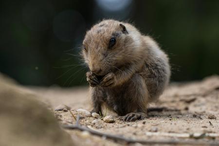 Little prairie dog - zo schattig een baby prairiehondje - foto door Valeries-Photography op 19-09-2019 - deze foto bevat: dierentuin, natuur, dieren, dog, nederland, zoo, amersfoort, squirrel, prairie, cynomys, prairie dog, ground squirrel, little animal
