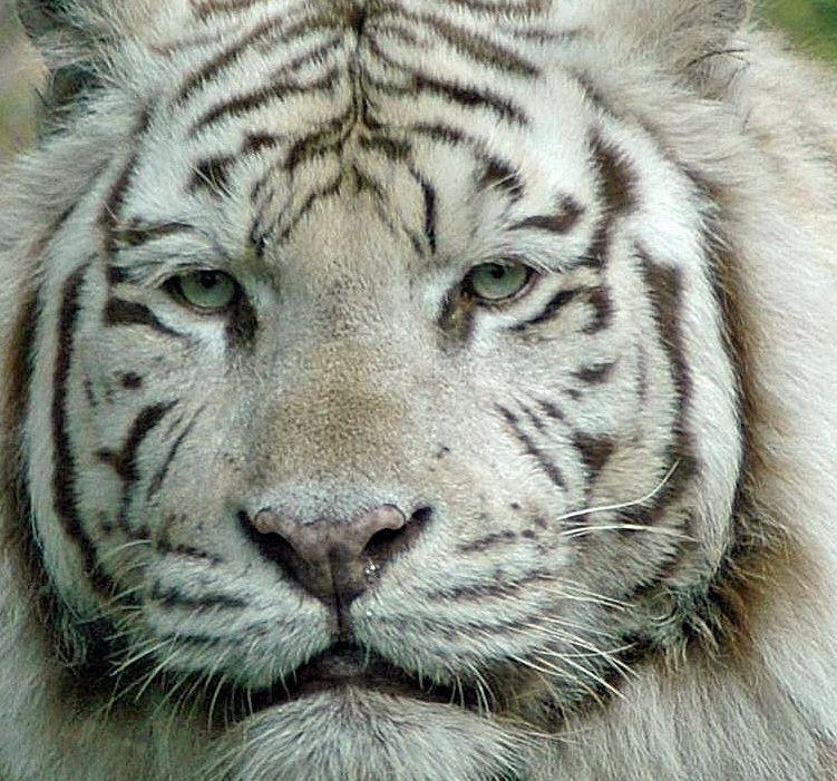 snip verkouden !!! - de druppels rollen uit zijn neusgat - foto door bobbley op 07-01-2013 - deze foto bevat: dierentuin, portret, dieren, tijger