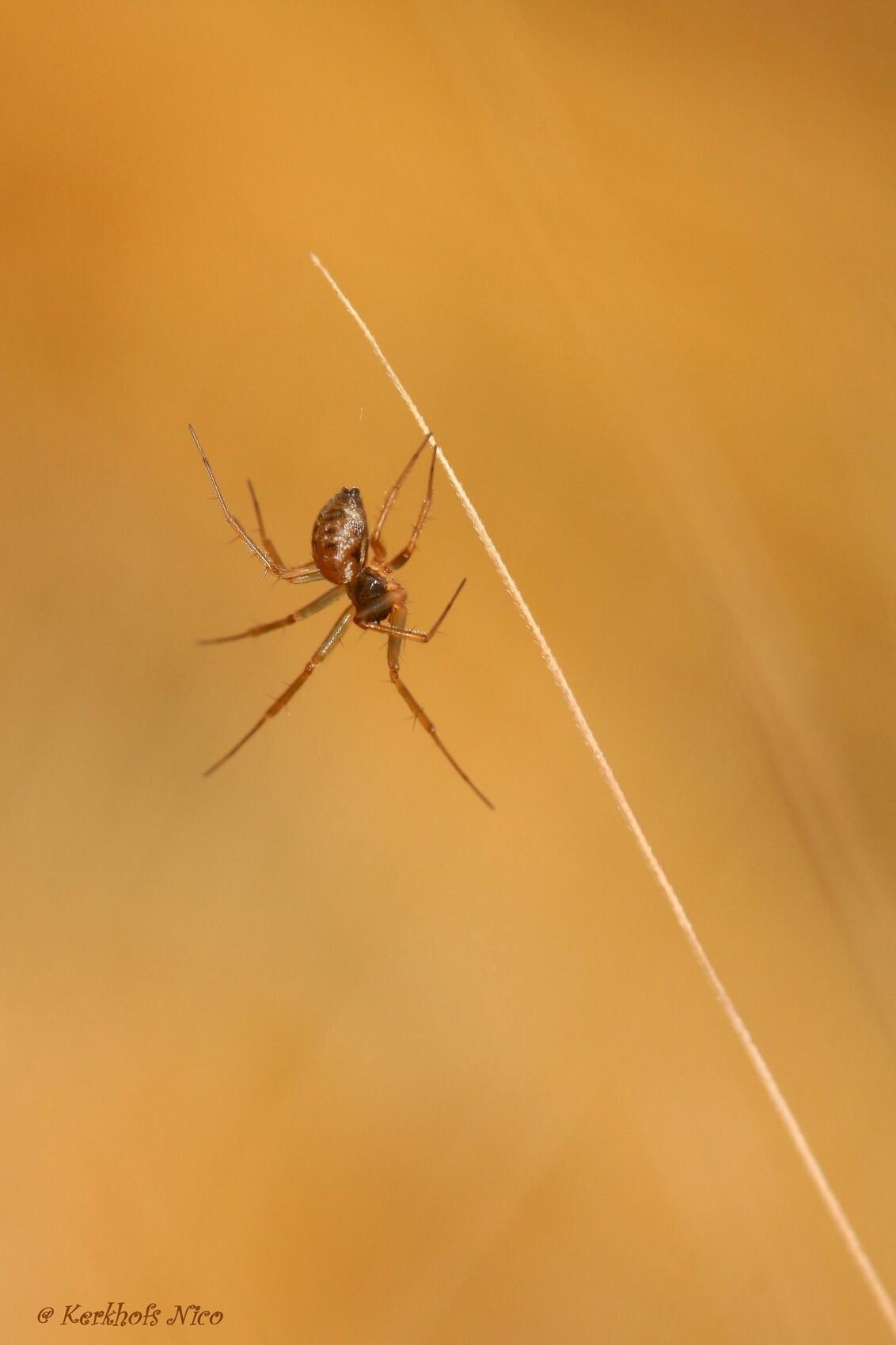 Klein spinnetje - Ze is aan het polsstokspringen - foto door Nico-Nikske op 12-11-2015 - deze foto bevat: macro, spin, bokeh