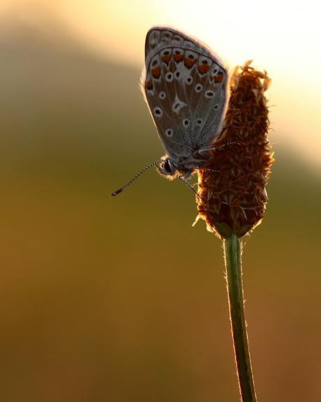 Icarusblauwtje bij ochtend