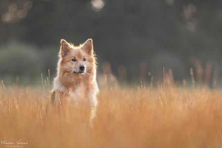 Bryja tijdens zonsopkomst - Gewoon op de parkeerplaats zag ik opeens dit plaatje voor me, gelukkig had ik mijn camera bij me ;-) - foto door MarleenVerheulFotografie op 09-08-2020 - deze foto bevat: dieren, huisdier, hond, hondenfotografie, hondenfotograaf