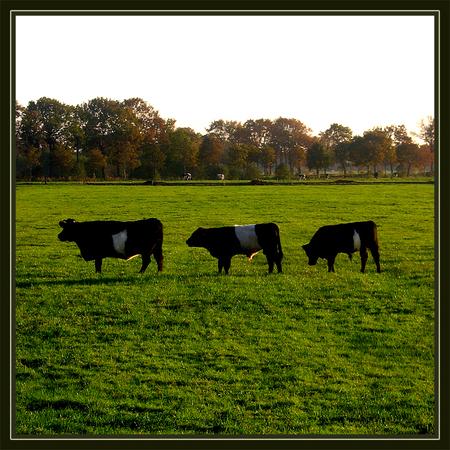 Line up! - Lakenvelders in Oktober - foto door daniel44 op 06-03-2006 - deze foto bevat: gras, koe, rijtje, wei, veld, line, daniel44, lakenvelder