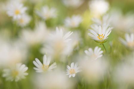 All Together - - - foto door mourik57 op 13-04-2020 - deze foto bevat: macro, wit, natuur, bloemen, voorjaar, sfeer, brigit, april, grote muur