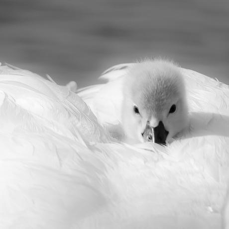 Mijn eerste foto op Zoom: Geborgen tussen moeders vleugels