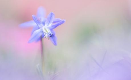 Little blue star
