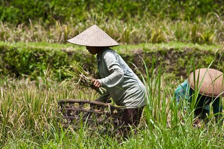 Rijst plukken