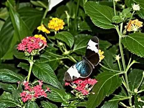 De passiebloemvlinder Heliconius sara of Heliconius wallacei.