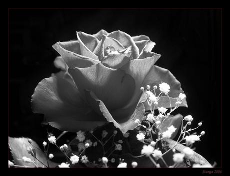 Rose in bw