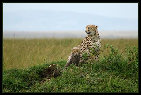 Masai Mara Cheeta's