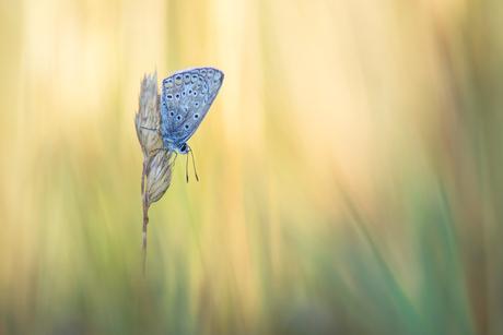 Icarus blauwtje in de ochtend