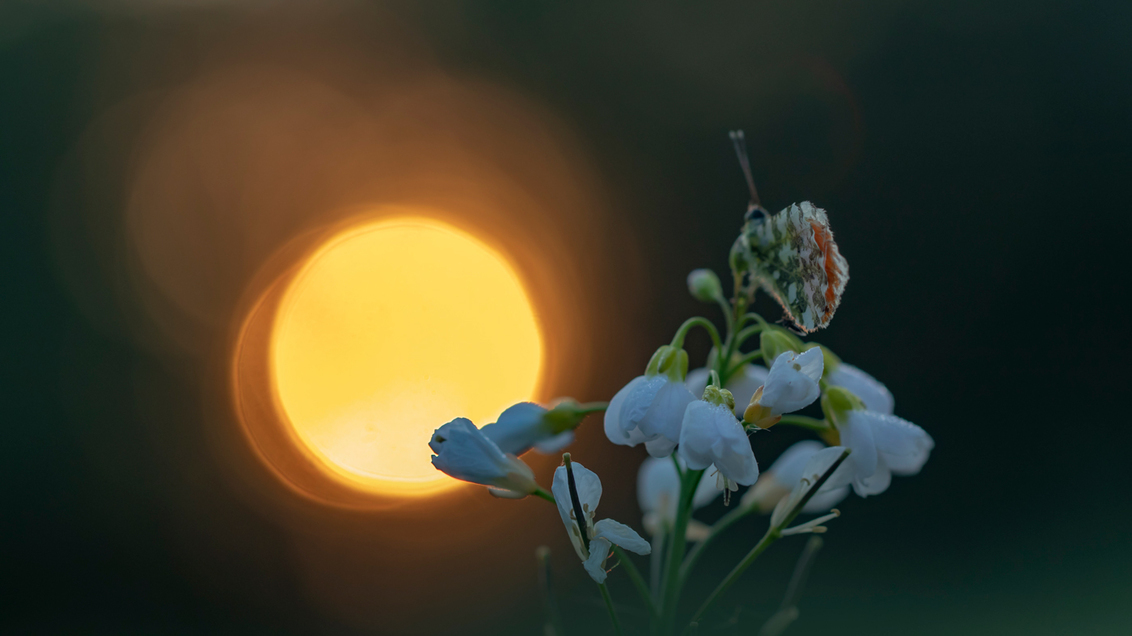Enjoying the sunrise - Gisterochtend vroeg op met Dianne (AMYL)...naar de oranjetipjes naar lang zoeken zag ik deze genieten van de opkomende zon. Fijne paasdagen en bedan - foto door peacefull op 21-04-2019 - deze foto bevat: macro, zon, bloem, natuur, pinksterbloem, geel, licht, oranje, oranjetipje, tegenlicht, insect, bokeh, johan van opstal