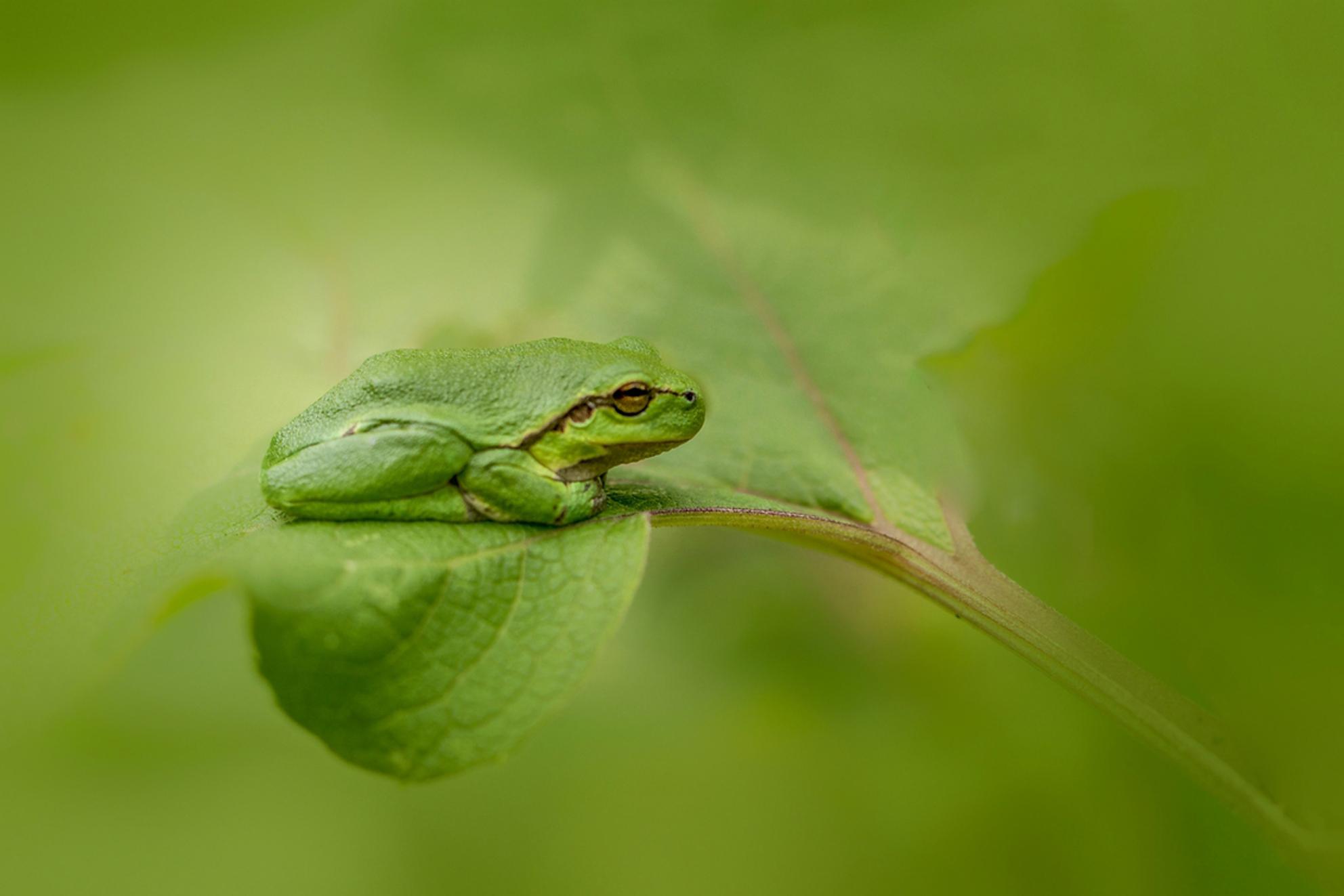 onopvallend... - afgelopen zomer deze kikkertjes weer eens kunnen fotograferen, ze vallen haast niet op in het groen met hun camouflagekleurtjes... - foto door MvanDijk op 04-11-2017 - deze foto bevat: groen, macro, kikker, natuur, geel, zomer, limburg, camouflage, boomkikker, Zoom.nl