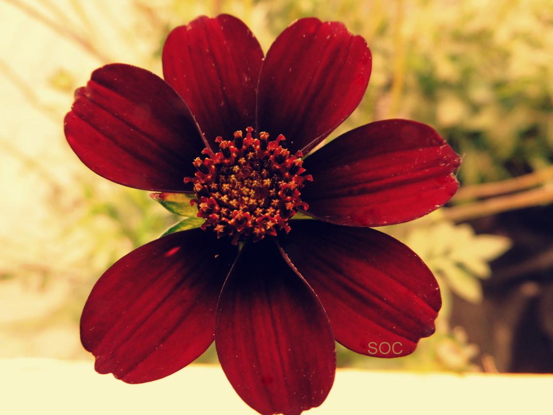 DSCI0014.JPG - Bijna perfect - foto door Soc op 26-06-2014 - deze foto bevat: rood, bloem