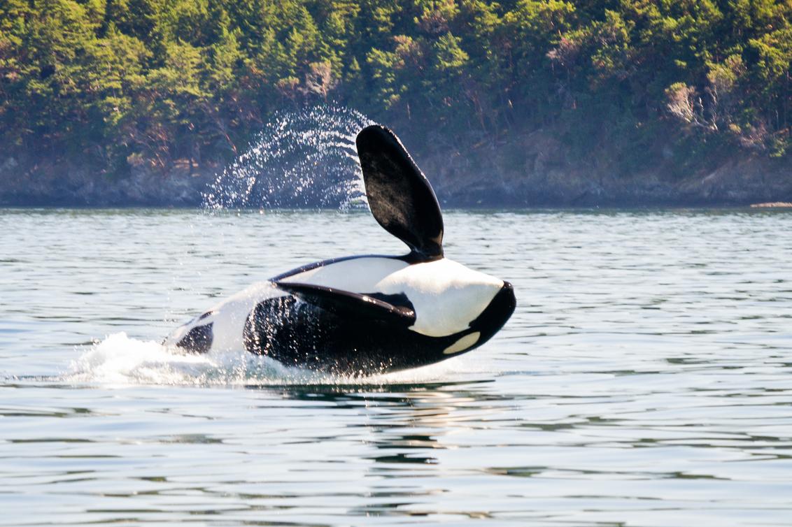 Canada op z'n best - Foto genomen tijdens een whale watching tour bij Vancouver Island. Vijf jaar later is het nog steeds één van de mooiste herinneringen van de reizen d - foto door AnnCools op 02-10-2013