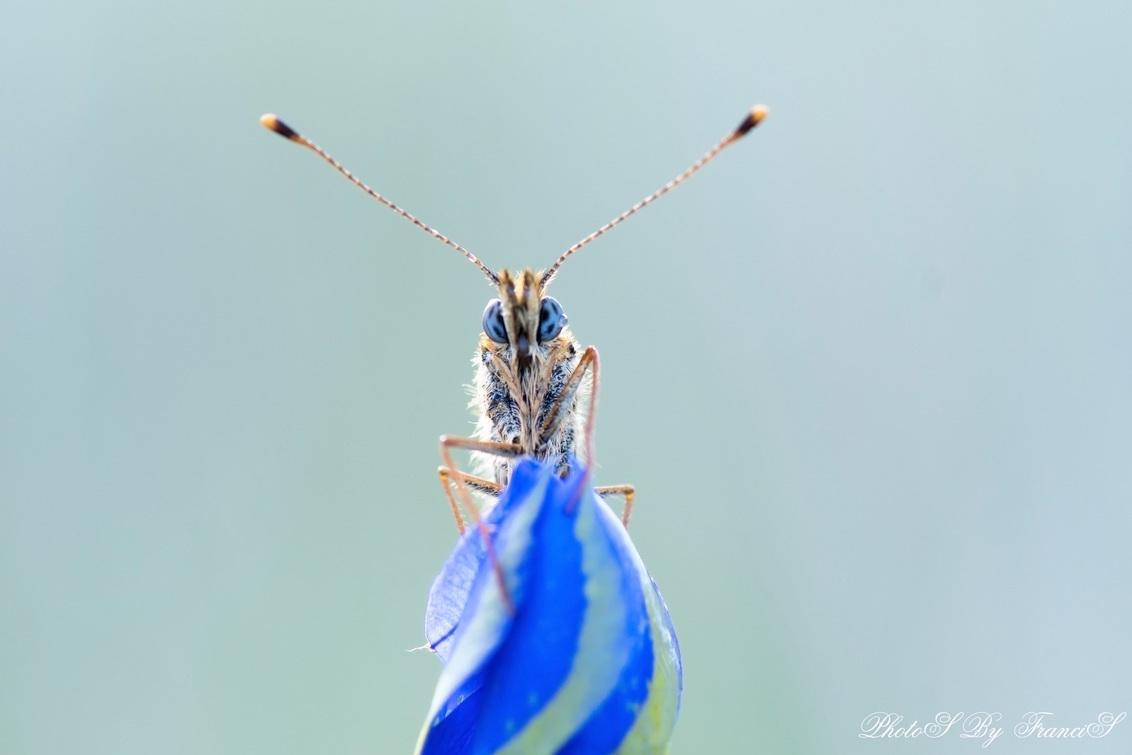 Those blue eyes. - Nog een foto uit mijn archief. Bedankt voor de fijne reacties op mijn vorige foto. Het gaat elke dag wat beter en hopelijk binnenkort weer op pad.   - foto door Francis-Dost op 29-05-2018 - deze foto bevat: macro, blauw, lente, natuur, vlinder, licht, insect, dauw, dof