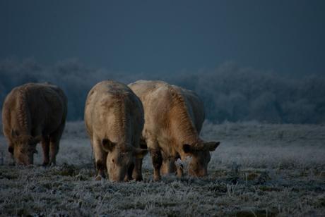 Koeien in het stroomdallandschap Drentse Aa