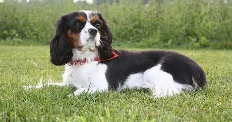 My Cute dog ,Senna - mijn mooie hondje, Senna - foto door maistro84 op 12-03-2015 - deze foto bevat: hond, king, charles, cavalier, spaniel, senna