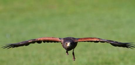 Steppe Arend in vogelvlucht