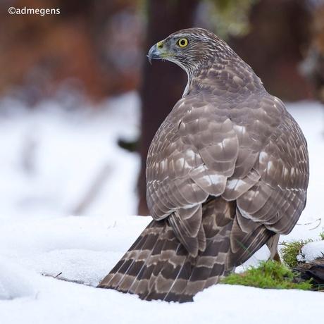 jonge Havik in de sneeuw