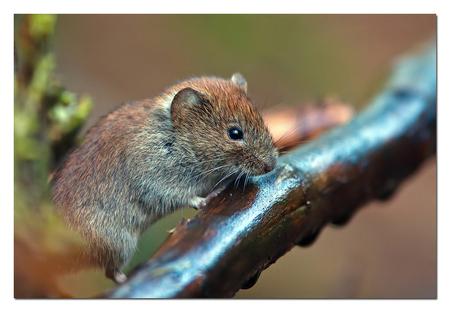 Lief muisje - mijn kleine vriend die o zo rap is en die zich lastig laat fotograferen   Effies in het groot bekijken!  Heel erg bedankt voor de fijne reacties  - foto door Anna Rass op 05-02-2013 - deze foto bevat: nature, natuur, muis, knaagdier, anna, woelmuis, rosse woelmuis
