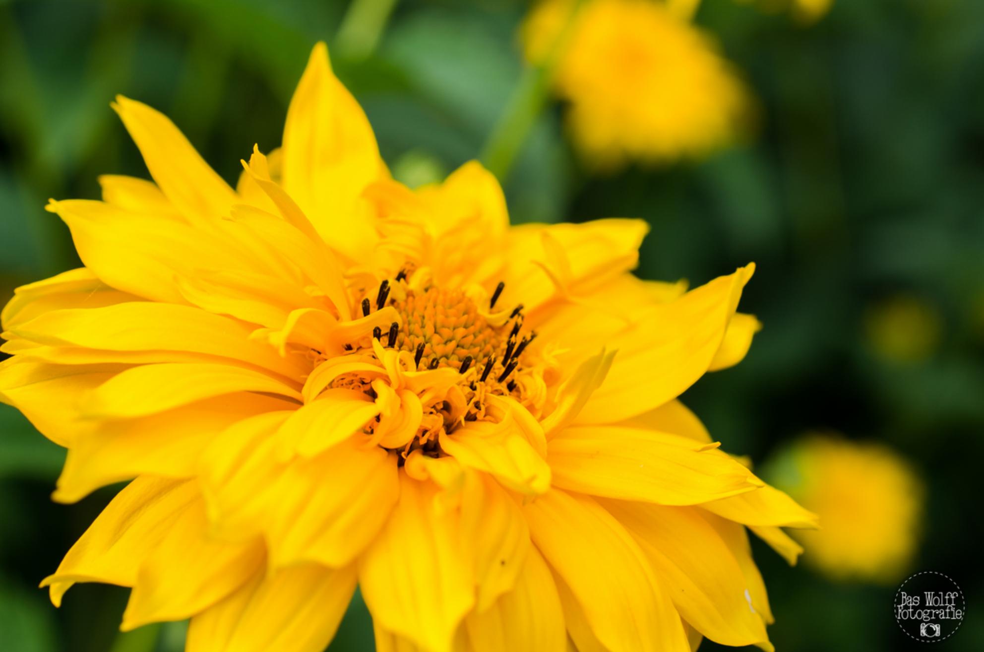 IJssevliedt - Ik ben geen planten/ bloemenkenner, wie helpt mij? - foto door baswolff op 26-06-2014 - deze foto bevat: groen, paars, macro, zon, plant, bloem, zonnebloem, natuur, geel, distel, landgoed, zomer, meeldraden, nikon, stekels, wezep, ijsselvliedt, D5100