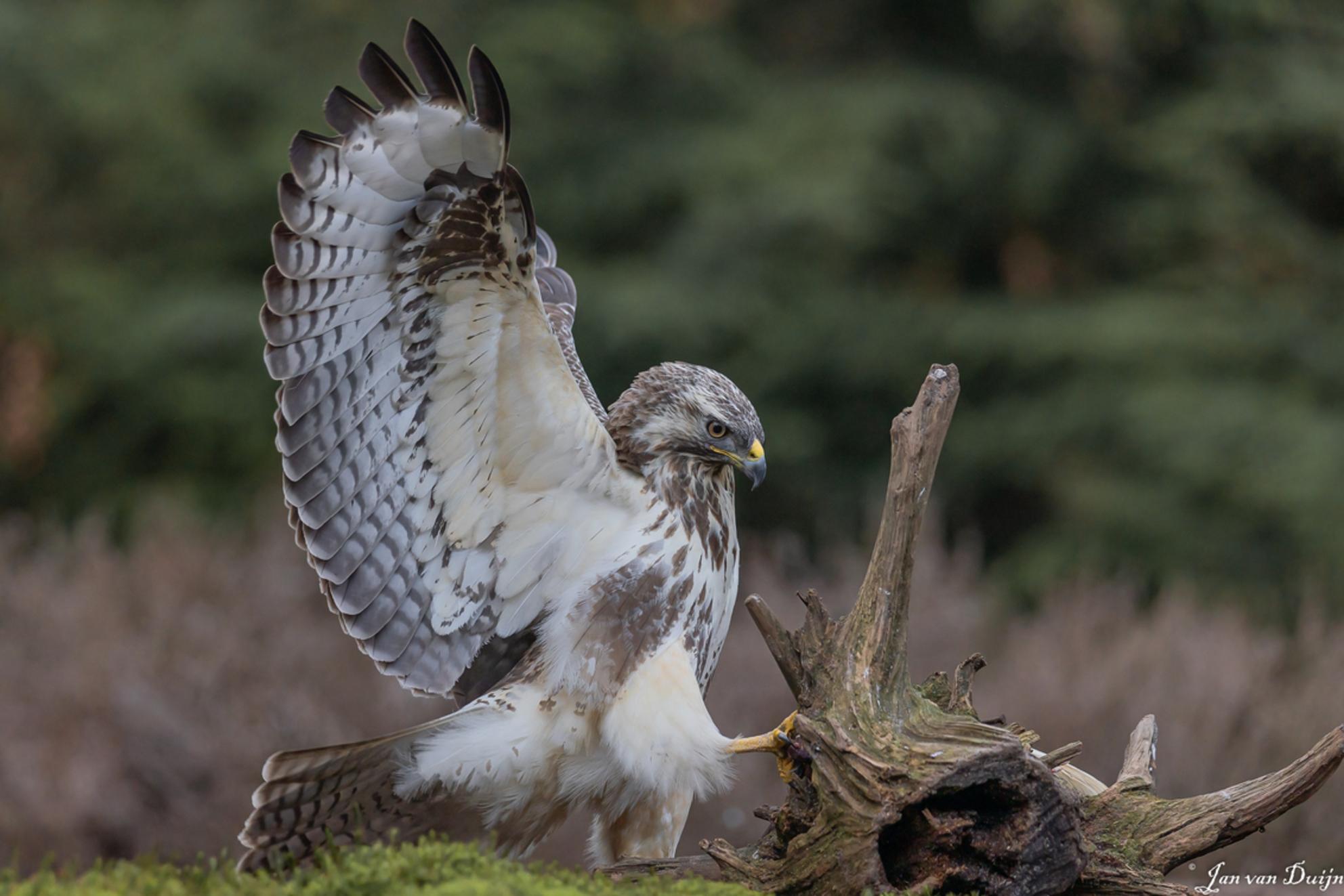 Buizerd - Actiefoto van de buizerd - foto door duynduyn op 06-03-2021 - deze foto bevat: natuur, dieren, vogel, buizerd, roofvogel, wildlife - Deze foto mag gebruikt worden in een Zoom.nl publicatie