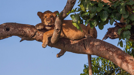 Leeuw in de boom