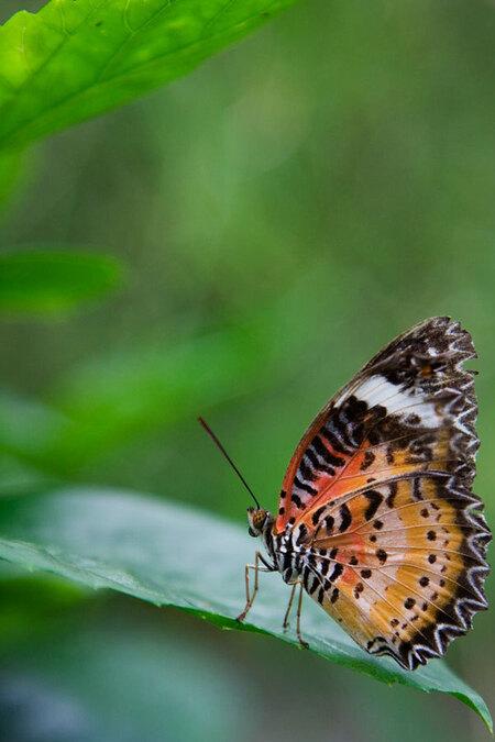 Vlinder op blad - Een vlinder (de Cethosia Biblis) zit mooi op een blad in de vlindertuin van het dierenpark Emmen. Achteraf gezien zou ik iets meer ruimte aan de rech - foto door SandradeHeij op 22-01-2014 - deze foto bevat: vlinder, insekt, Cethosia biblis