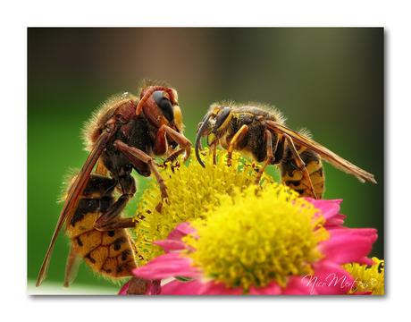 Hoornaar vs gewone wesp!!