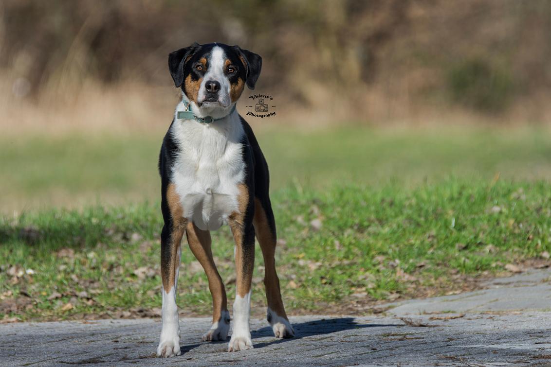 Benji - Deze knapperd kwam ik tegen tijdens een wandeling in mijn buurt. Een Appenzeller genaamd Benji. - foto door Valeries-Photography op 07-03-2019 - deze foto bevat: natuur, dieren, huisdier, hond, honden, dog, nederland, flevoland, lelystad, sennenhond, appenzeller, appenzeller sennenhond