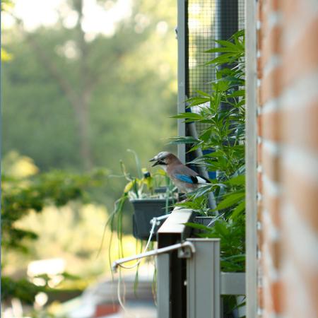 Vlaamse High - Gespot, op het balkon van de buren tussen de voor consumptie bedoelde plantjes (overigens, ze houden zich keurig aan de wettelijk toegestane 5 stuks) - foto door Manana op 27-06-2010 - deze foto bevat: balkon, wiet, Vlaamse Gaai