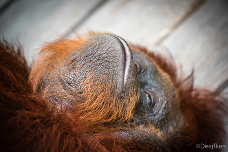 Close-up orang oetan
