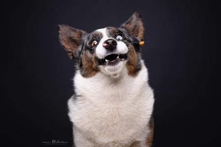 Tigo - Grappig studio portret van Welsh Corgi Tigo die een snoepje vangt.  - foto door foscofotografie op 07-04-2021 - locatie: Waalwijk, Nederland - deze foto bevat: grappig, hond, honden, welsh corgi, corgi, humor, studio, hondenfotograaf, dierenfotograaf, dier, dieren, flitsen, flitslicht, canon, sigma, actie, actiefoto, hond, carnivoor, metgezel hond, bakkebaarden, hondenras, felidae, staart, volgende hond, flitsfotografie, halsband