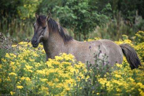 Konikpaard stond prachtig in de zon